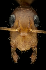 Camponotus-maculatus-Africa-2