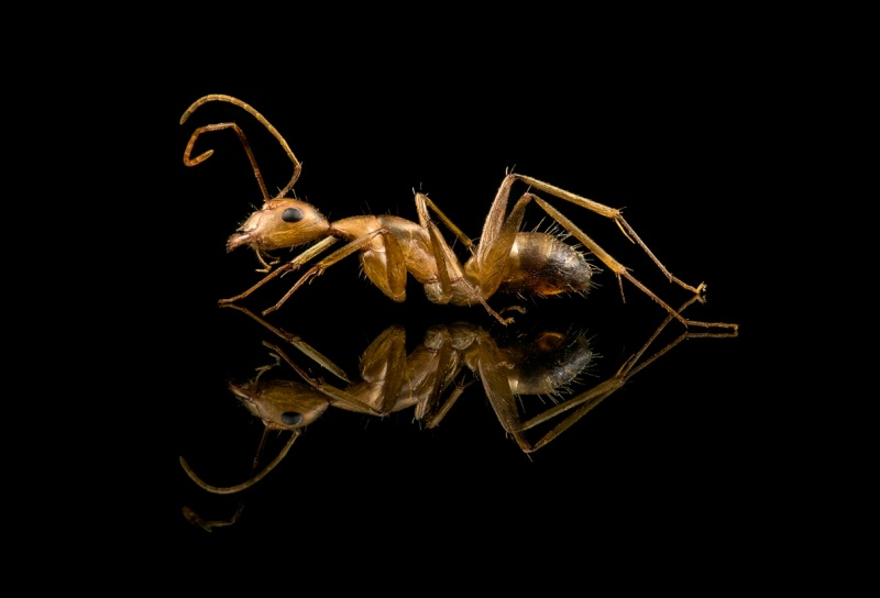 Camponotus-maculatus-Africa