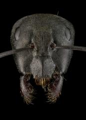 Camponotus-micans-worker-Portugal-2