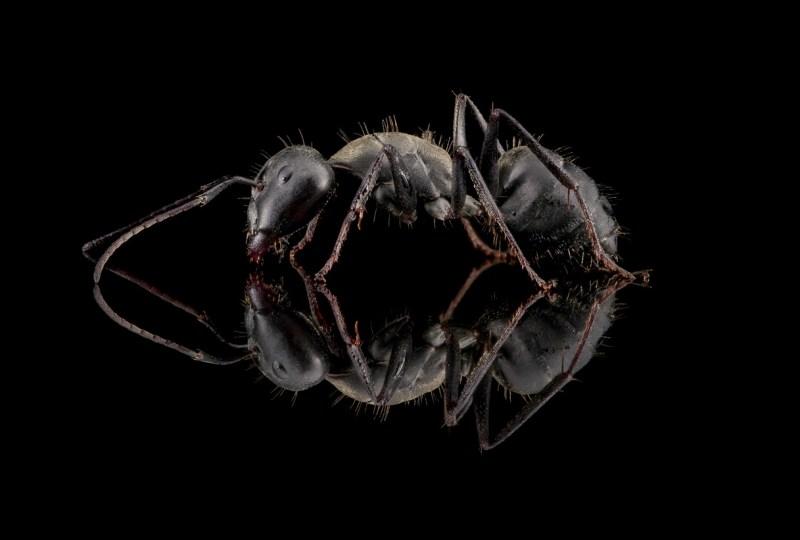 Camponotus-micans-worker-Portugal