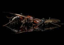 Camponotus-nicobarensis-Southeast-Asia- - queen and male