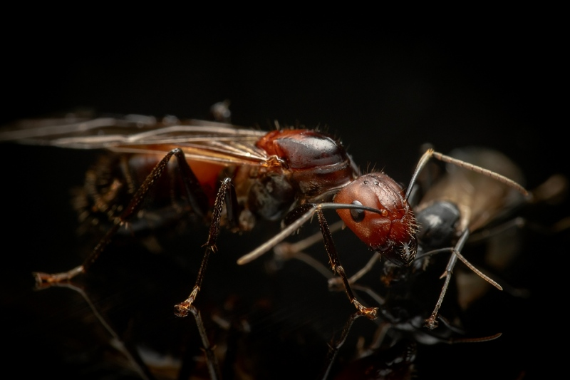 Camponotus-nicobarensis-Southeast-Asia - queen and male