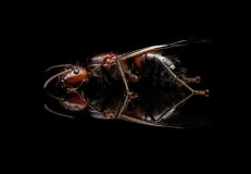 Camponotus-nicobarensis-Southeast-Asia - queen