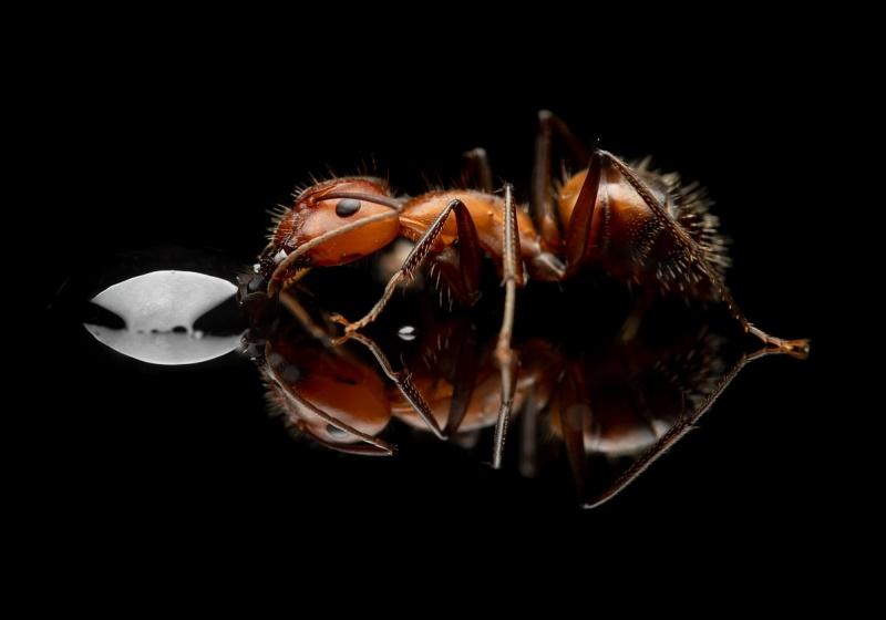 Camponotus-nicobarensis-Southeast-Asia - major worker