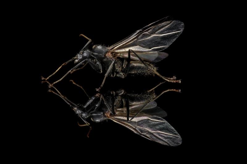 Camponotus-nicobarensis-Southeast-Asia - male