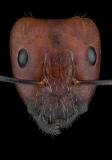 Camponotus nicobarensis - Southeast Asia - major worker