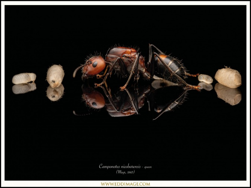 Camponotus-nicobarensis-queen-with-brood-2Mayr-1865
