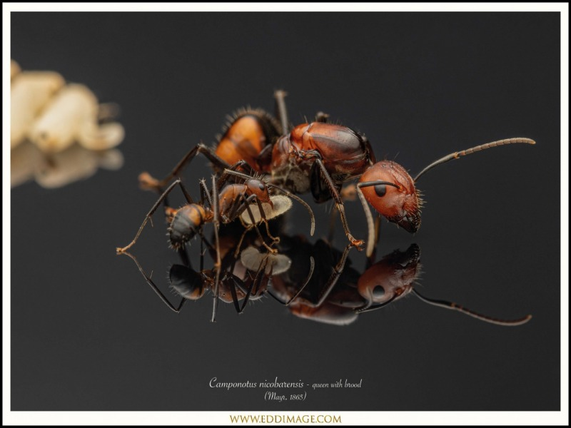 Camponotus-nicobarensis-queen-with-brood-Mayr-1865