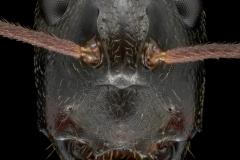 Camponotus-nigriceps-Australia-2