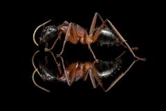 Camponotus-nigriceps-Australia