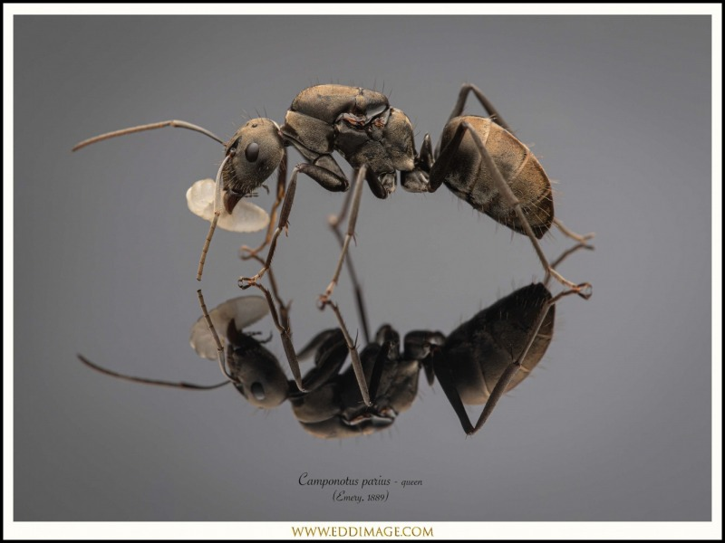 Camponotus-parius-queen-1-Emery-1889