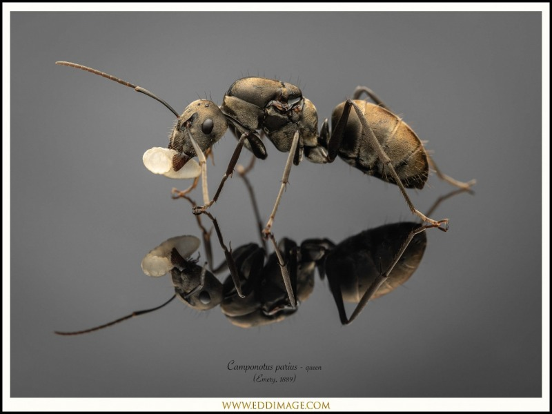 Camponotus-parius-queen-2-Emery-1889