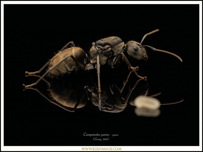 Camponotus-parius-queen-3-Emery-1889