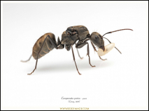 Camponotus-parius-queen-4-Emery-1889