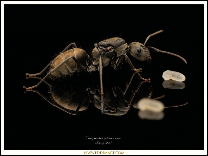 Camponotus-parius-queen-5-Emery-1889