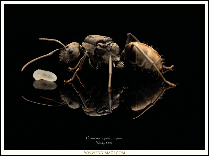 Camponotus-parius-queen-6-Emery-1889