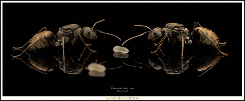 Camponotus-parius-queen-7-Emery-1889
