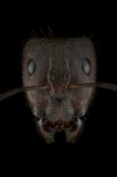 Camponotus-rufipes-Southamerica-2
