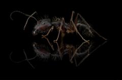 Camponotus-rufipes-Southamerica