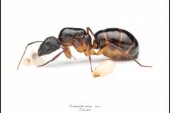Camponotus-samius-queen-10-Forel-1889