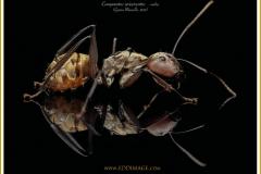 Camponotus-sericeiventris-worker-1-Guerin-Meneville-1838