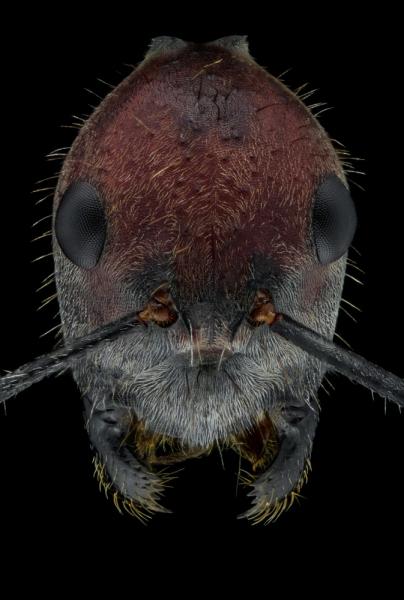 Camponotus singularis-2