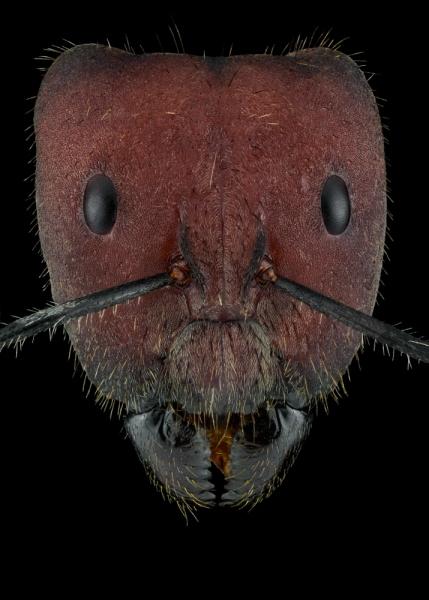 Camponotus singularis-3