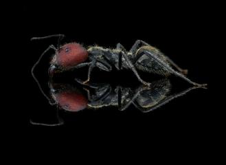 [Camponotus singularis] - Southeast Asia major worker