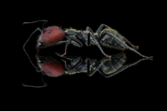 [Camponotus singularis] - Southeast Asia major worker