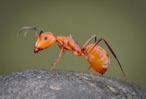 carpenter ant [Camponotus sp] Zanzibar-2