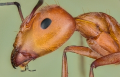 carpenter ant [Camponotus sp] Zanzibar-3