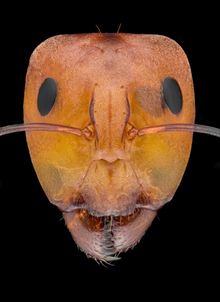carpenter ant [Camponotus sp] Zanzibar-4