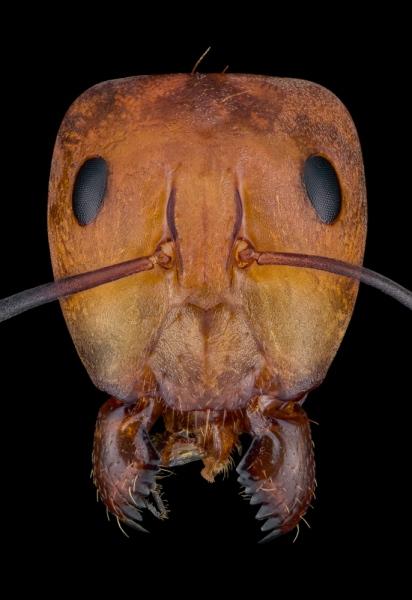 carpenter ant [camponotus sp] Zanzibar-5