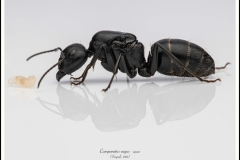 Camponotus-vagus-queen-6-Scopoli-1763