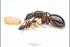 Camponotus-vicinus-queen-27-Mayr-1870