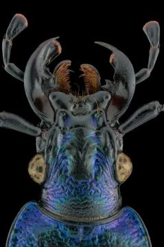 blue ground beetle [Carabus intricatus]-2