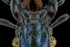 blue ground beetle [Carabus intricatus]-2