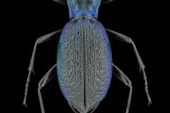blue ground beetle [Carabus intricatus]