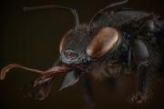 carpenter bee Thailand-3