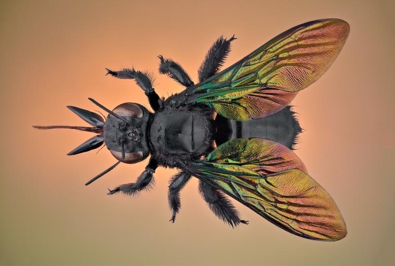 carpenter bee Thailand
