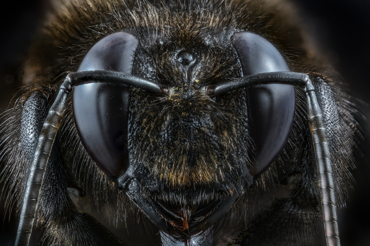 european carpenter bee