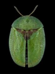 Thistle-Tortoise-Beetle-Cassida-rubiginosa-Romania