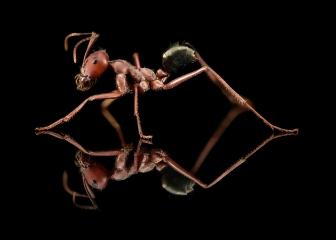 Sahara Desert ant [Cataglyphis bicolor] - Sahara Desert Africa
