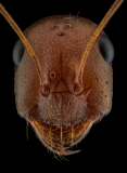 desert ant [Cataglyphis sp] Africa