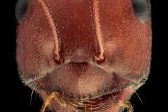 Sahara Desert ant [Cataglyphis bicolor] - Sahara Desert Africa-2