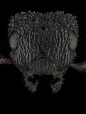 Cataulacus-granulatus-queen-2