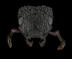 Cataulacus-granulatus-queen-3