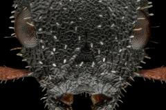 Cataulacus-granulatus-Nepal-3