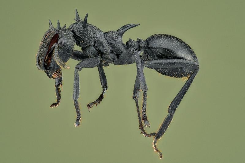 Cephalotes Atratus - South America-2