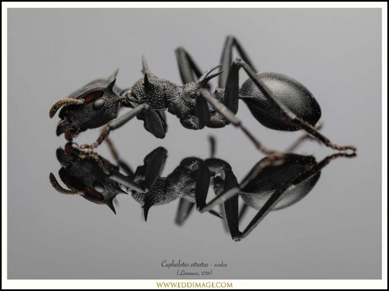 Cephalotes-atratus-worker-2-Linnaeus-1758